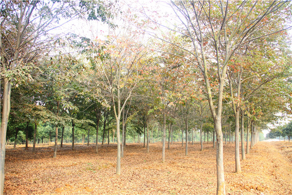 青岛市实验小学榉树